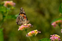Painted Lady Butterfly 3