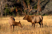 Bull Elk with Cow