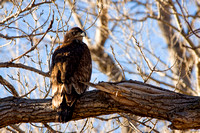 Bald Eagle - immature