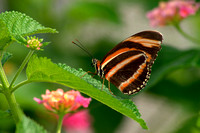 Banded Orange Heliconian Butterfly