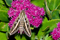 White-lined Sphinx Moth 2